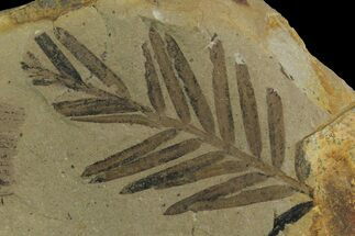 Metasequoia (Dawn Redwood) - Fossils For Sale - #165201