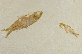 Buy Pair of Fossil Fish (Knightia) - Green River Formation - #165775