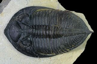 "2.9"" Zlichovaspis Trilobite - Atchana, Morocco For Sale, #165884"