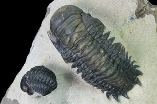 "Buy 2.8"" Crotalocephalina & Reedops Trilobite Association - #165928"