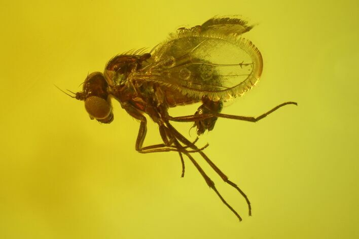 Detailed Fossil Fly (Dolichopodidae) In Baltic Amber