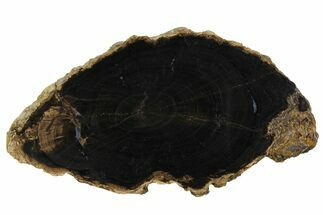 "4.7"" Petrified Wood (Schinoxylon) Round - Blue Forest, Wyoming For Sale, #166406"