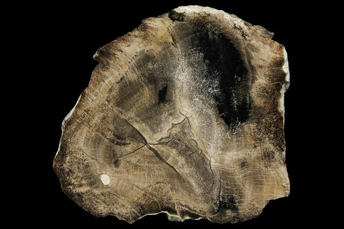 "5.6"" Polished Petrified Live Oak (Quercus) Round - Texas"