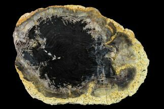 "Buy 4.7"" Polished Petrified Wood End Cut - Colorado - #166456"