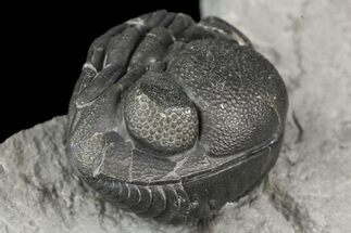 ".83"" Wide, Enrolled Eldredgeops Trilobite Fossil - New York For Sale, #164426"