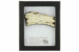 Mammuthus columbi - Fossils For Sale - #165105