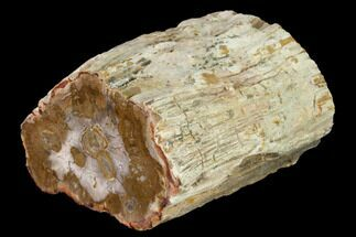 "3.5"" Wide Petrified Wood (Araucaria) Limb - Madagascar  For Sale, #166586"