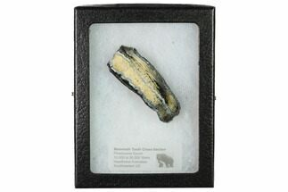 "2.15"" Mammoth Molar Slice with Case - South Carolina For Sale, #165101"