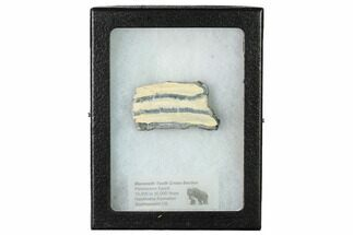 "2.3"" Mammoth Molar Slice with Case - South Carolina For Sale, #165107"