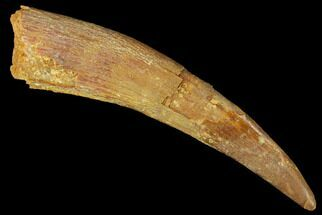 "Huge, 1.96"" Fossil Pterosaur (Siroccopteryx) Tooth - Morocco For Sale, #167159"
