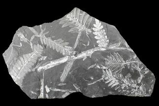 "9.2"" Fossil Seed Fern (Alethopteris & Neuropteris) Plate -Pennsylvania For Sale, #168386"
