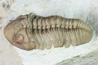 "1.55"" Lochovella (Reedops) Trilobite - Black Cat Mountain, Oklahoma For Sale, #168830"