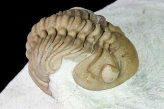 "Buy 2.5"" Lochovella (Reedops) Trilobite - Black Cat Mountain, Oklahoma - #168817"