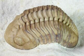 "2"" Lochovella (Reedops) Trilobite - Black Cat Mountain, Oklahoma For Sale, #168860"