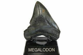 "4.97"" Fossil Megalodon Tooth - South Carolina For Sale, #169190"