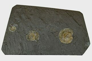 "9"" Dactylioceras Ammonite Cluster - Posidonia Shale, Germany For Sale, #169436"