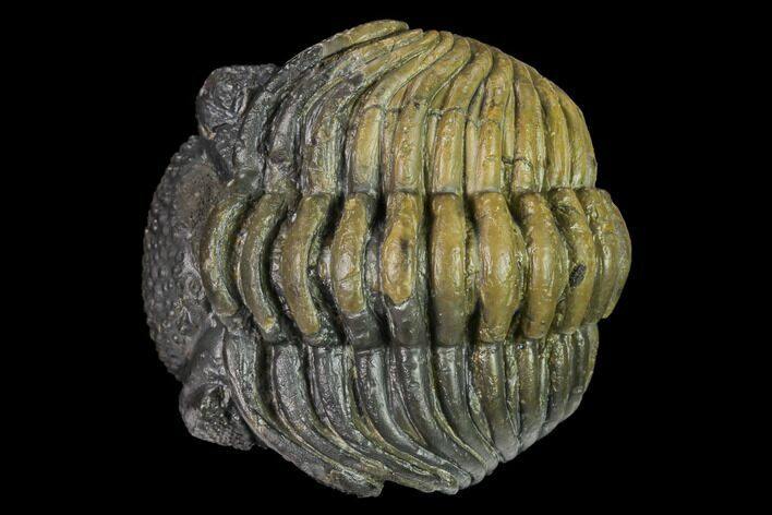 "Large, 2.1"" Wide, Enrolled Pedinopariops Trilobite"