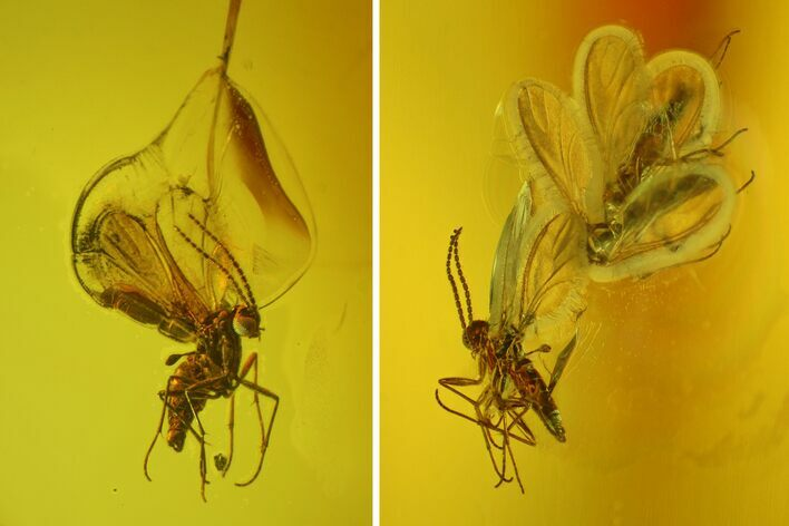 Five Fossil Flies (Diptera) In Baltic Amber