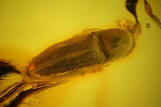 Detailed Fossil Beetle (Elateroidea) in Baltic Amber For Sale, #170057
