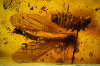 Fossil Crane Fly (Tipulidae) & Millipede (Polyxenidae) In Baltic Amber For Sale, #170066