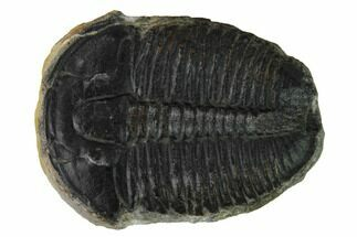 Elrathia kingii - Fossils For Sale - #169485