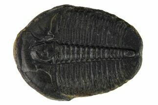 Elrathia kingii - Fossils For Sale - #169488
