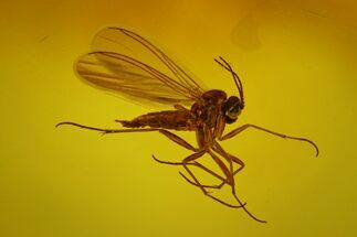 Buy Fossil Fungus Gnat (Mycetophilidae) In Baltic Amber - #170101