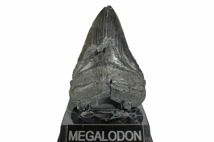 "4.91"" Fossil Megalodon Tooth - South Carolina"