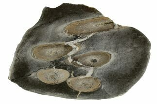 "Buy 3.5"" Fossil Plesiosaurus Bones in Cross-Section - England - #171169"