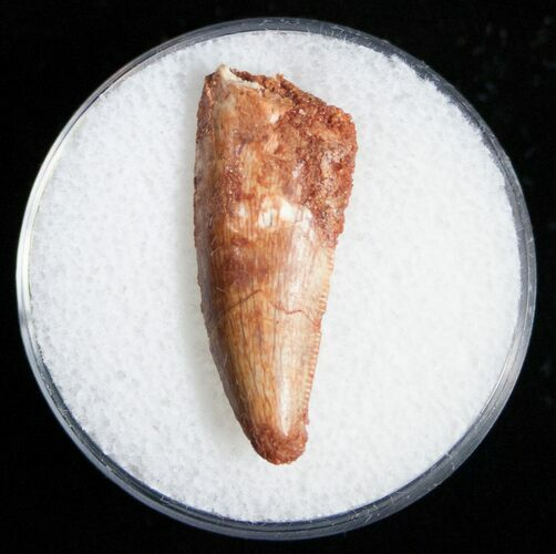 Raptor Tooth From Morocco - 1.06""