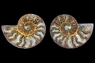 Cleoniceras sp. - Fossils For Sale - #166764