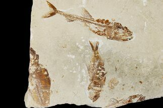 "Buy 6.5"" Cretaceous Fossil Fish Association - Hakel, Lebanon - #173176"