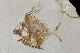 Aipichthys sp. - Fossils For Sale - #173160
