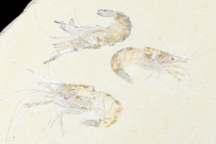 Three, Large Cretaceous Fossil Shrimp - Hjoula, Lebanon