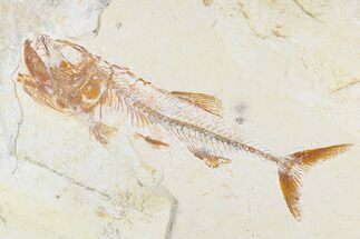 "Buy 6.1"" Cretaceous Fish (Spaniodon) With Shrimp - Lebanon - #173371"