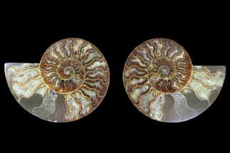 Cleoniceras sp. - Fossils For Sale - #166848