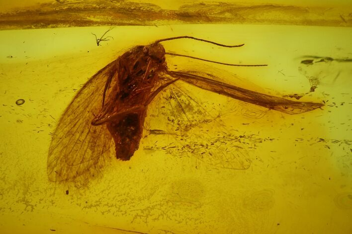 Fossil Adult (Imago) Moth (Lepidoptera) in Baltic Amber