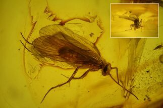 Buy Detailed Fossil Caddisfly (Trichoptera) In Baltic Amber - #173656