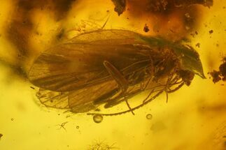 Two Fossil Caddisflies (Trichoptera) in Baltic Amber For Sale, #173681