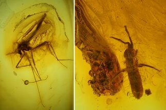 Buy Fossil Springtail (Collembola) & Fly (Chironomidae) In Baltic Amber - #173674