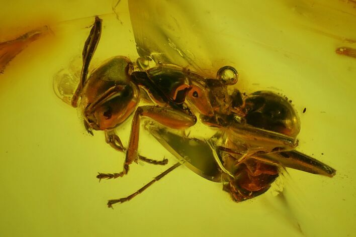 Detailed Fossil Ant (Formicidae) & Fly (Diptera) in Baltic Amber