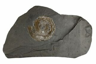 "3.4"" Pyritized Dactylioceras Ammonite On Shale - Germany For Sale, #174260"