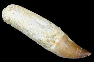 "4.4"" Fossil Rooted Mosasaur (Prognathodon) Tooth - Morocco For Sale, #174347"