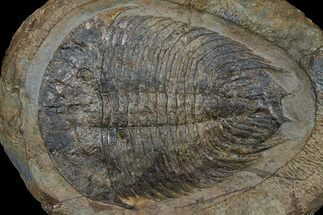 Dikelokephalina brenchleyi (Fortey 2010) - Fossils For Sale - #174861