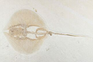 "18.6"" Rare Male Fossil Stingray (Heliobatis) - Wyoming For Sale, #174911"
