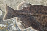 "43"" Fossil Fish ""Mural"" With Giant Phareodus - Kemmerer, Wyoming - #174913-8"