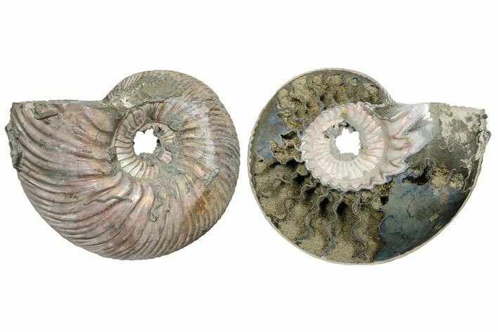 "2.5"" One Side Polished, Pyritized Fossil, Ammonite - Russia"