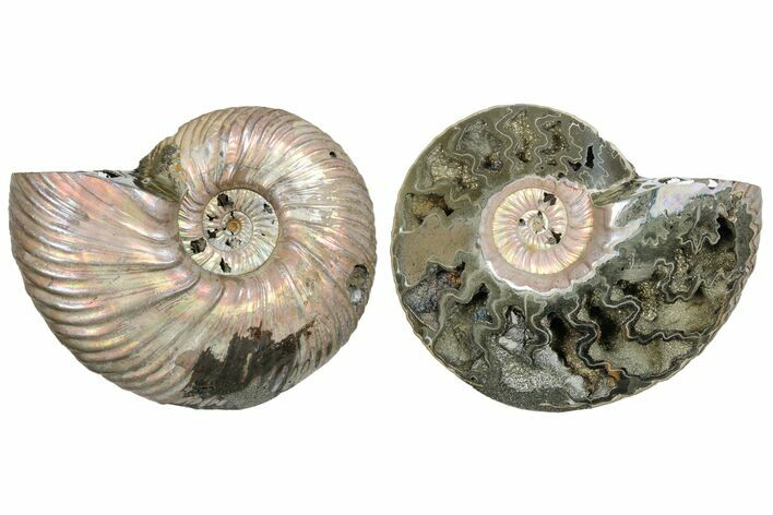 "2.55""  One Side Polished, Pyritized Fossil, Ammonite - Russia"