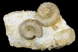 Buy Beautiful Pair Of Ammonites (Cadomites & Stephanoceras) - France - #175126