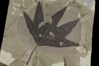 Platanus wyomingensis - Fossils For Sale - #174927